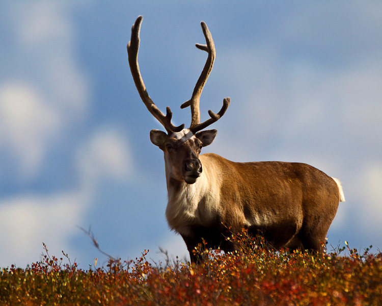 Caribou on the Northern tundra, wary and alert, but not too shy despite the fact that there were hunters around.