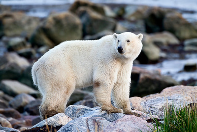 Okay, here's a clean polar bear on the rocks on the edge of Hudson Bay