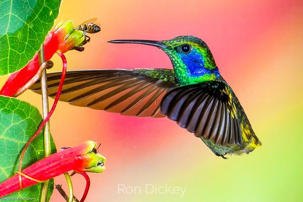 Ecuador: Hummingbirds of the Andes