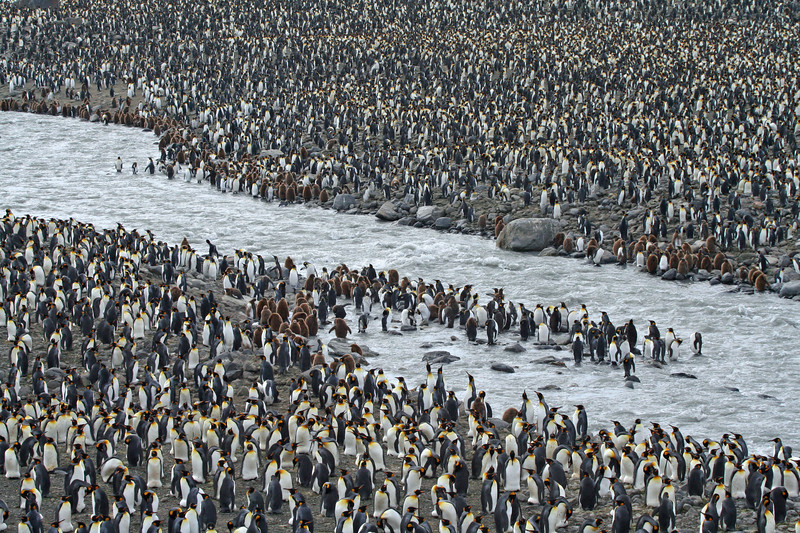 St. Andrews Bay, has the largest concentration of Kings in South Georgia, said to be 300,000 to 400,000 mating pairs.