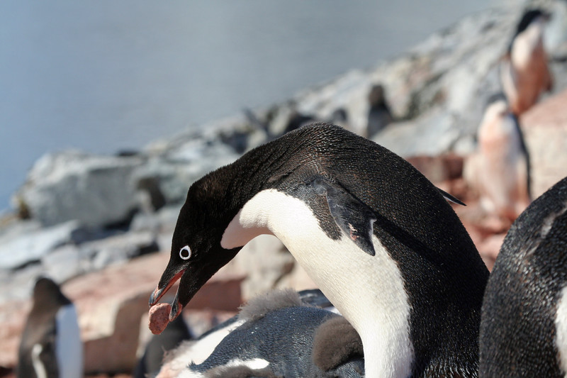 Adele Penguin building a nest.