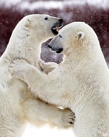 A real bear hug