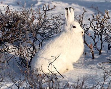 Something good to eat like an arctic hare just might come along