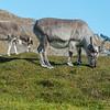 A Svalbard reindeer cow (rangifer tarandus platyrhynchus) and her calf graze on the abundance of summer in the high arctic