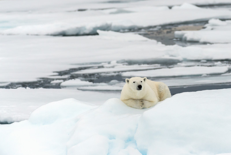 A Moment's Rest On The Sea Ice