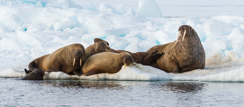 Walruses At 80 Degrees 39 Minutes North Latitude