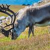 Smallest of all reindeer, a Svalbard reindeer bull (rangifer tarandus platyrhynchus) takes advantage of the abundant food supply during the arctic summer