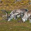Svalbard reindeer (rangifer tarandus platyrhynchus), the smallest subspecies of reindeer, graze on an August afternoon on an island of the Svalbard Archipeligo