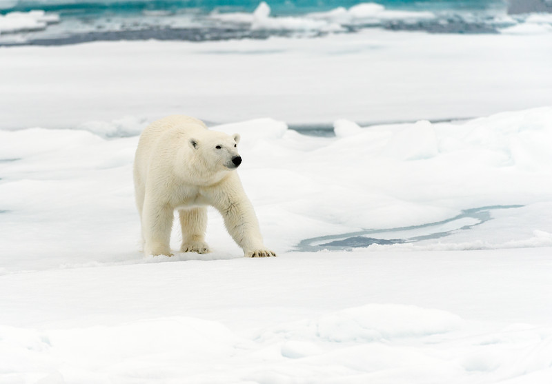 Called isborn by the Norwegians and isbjorn by the Danes, both names translate to ice bear as their name for the polar bear (ursus maritimus)