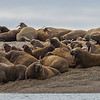 Hundreds of Walruses And A Single Polar Bear