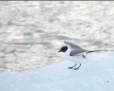 Sabine's gull is a relatively rare appearance around Svalbard