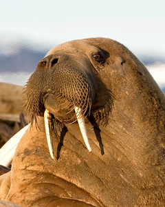 The walrus of the Arctic are quite self-confident, but curious about you
