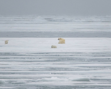 The ice was good this year and we saw several mothers with cubs on the ice