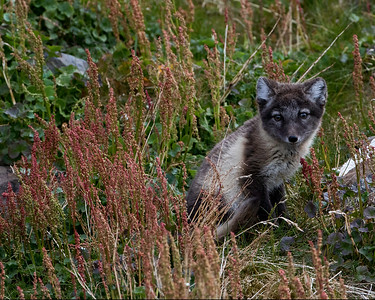 The Arctic foxes on the other hand are a bit skittish, but curious about everything