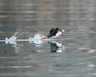 Puffin take off.  They too run over the surface to get going