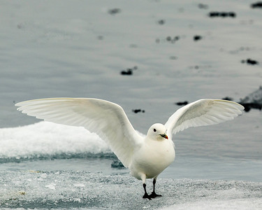 Ivory gulls, pure white with black feet are typical of the arctic