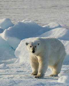 The polar bears are magnificent as they stand calmly watching us watching them