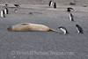 Crabeater seal teased by Chinstrap Penguin