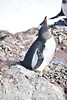Gentoo Penguin with hatching egg