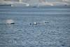 Orcas in Bransield Strait