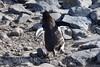 Penguin Waddle