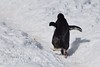 Gentoo Penguin's Waddle