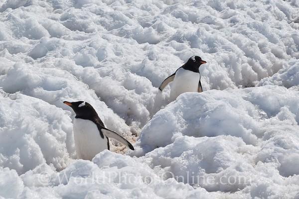 Gentoo Penguins in Penguin Highway