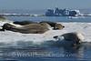 Crabeater Seals Kissing