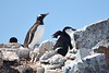 Gentoo, Adelie, and Chin Strap Penguins