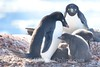Adelie Penguin with Chicks