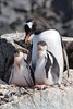 Gentoo Penguin with almost grown Chicks