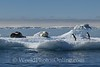 Adelie and Gentoo Penguins taunting Leopard Seal, Crabeater Seal on Iceflow