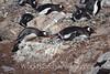 Gentoo Penguin Stealing Rocks