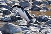 Chinstrap Penguin (in flight?)