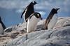 Gentoo Penguin with Rock