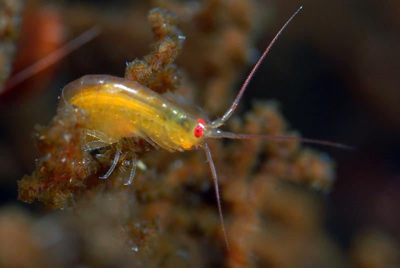 Amphipod, approx 1/2 inch