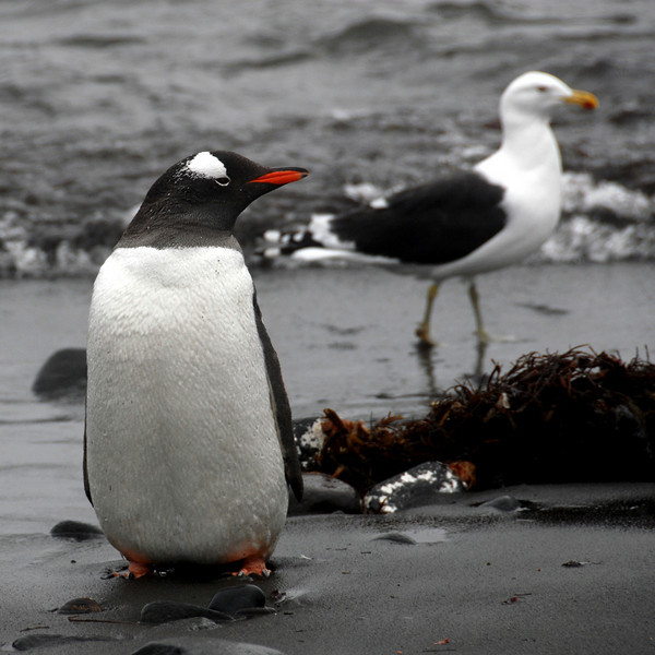 11-Gentoo Penguin and Gull