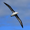 05-Albatross