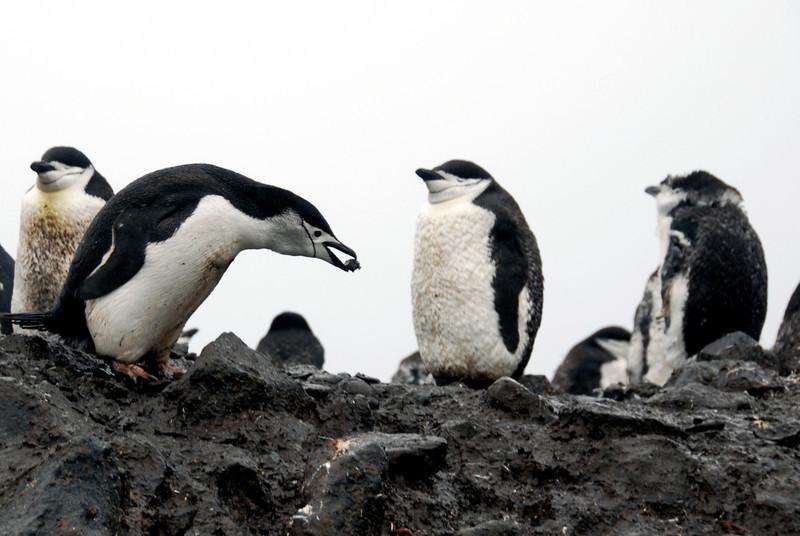 13-Chinstrap Penguin building nest