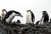 13-Chinstrap Penguin building nest
