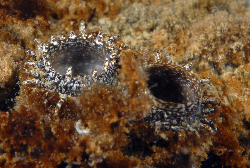 Clam: Laternula elliptica<br />  ID thanks to Peter Brueggeman