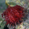 Urchin: Sterechinus neumayeri feeding on kelp<br /> ID thanks to Peter Brueggeman