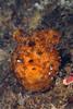Ascidian - Tunicate: Cnemidocarpa verrucosa<br /> ID thanks to Peter Brueggeman