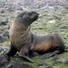 14-Fur Seal
