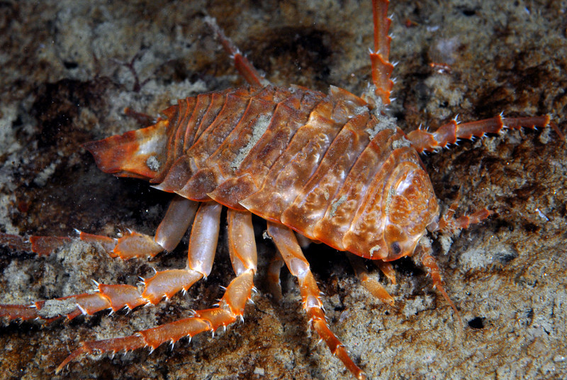 Isopod: Glyptonotus antarcticus.  These animals play the role of crabs and shrimps in the Antarctic, where, it is thought that the waters are too cold for crustaceans to produce a hard exoskeleton.<br /> ID thanks to Peter Brueggeman