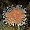 Anemone: Urticinopsis antarctica<br />  ID thanks to Peter Brueggeman