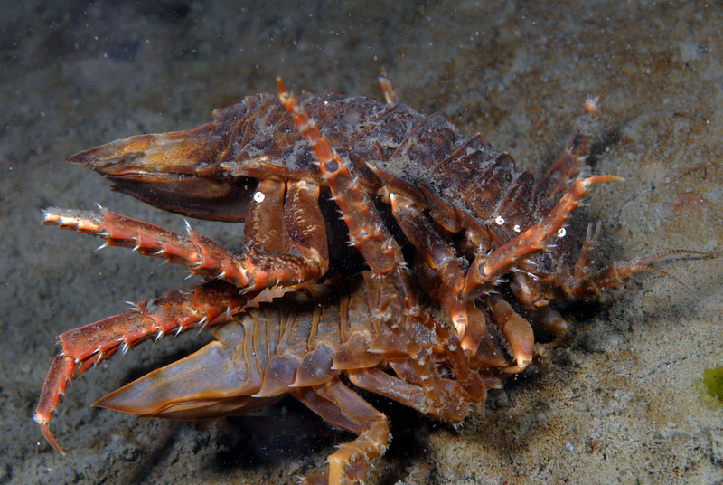 Isopods: Glyptonotus antarcticus, mating or fighting?<br /> ID thanks to Peter Brueggeman
