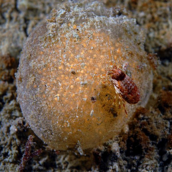 ? Amphipod on Tunicate?