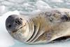 14b-Leopard Seal