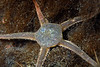 Star: Ophionotus victoriae<br /> ID thanks to Peter Brueggeman
